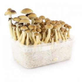 100% Mycelium Kweeksets