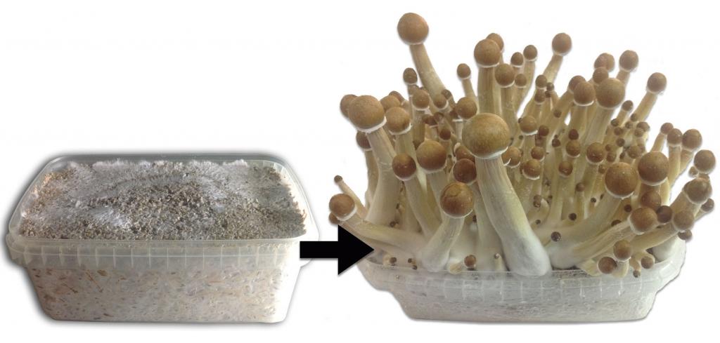 100 Percent Mycelium Growking Magic Mushroom Growing Season