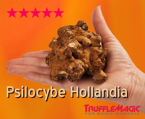 Psilocybe Hollandia Magic Truffles by Trufflemagic