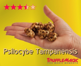 Psilocybe Tampanensis Magic Truffles by Trufflemagic