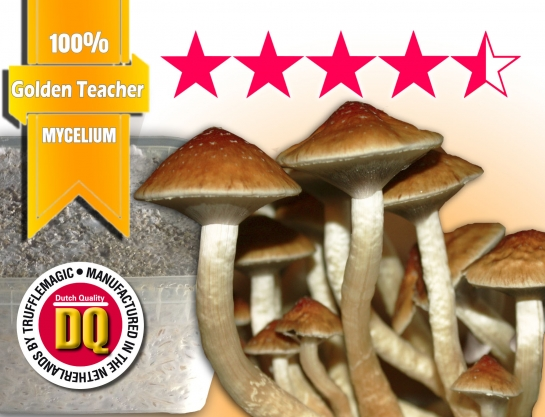 Golden Teacher 100% Mycelium Growkit