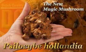 The New Magic Mushroom - Psilocybe Hollandia