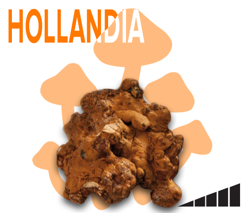 magic mushroom truffles hollandia