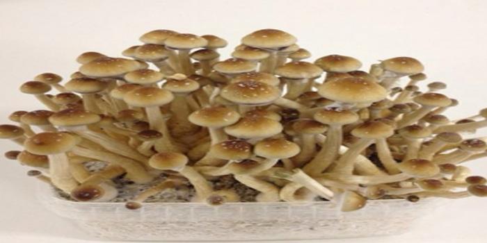 Golden Teacher Mushroom Effects – Bexdyie