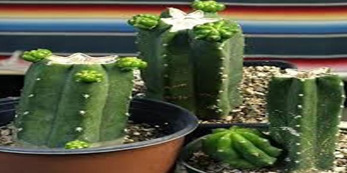 Cultivating Peruvian Torch Cactus