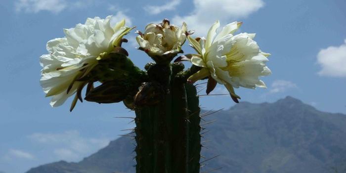 Peruvian Torch Cactus Habitat and Distribution