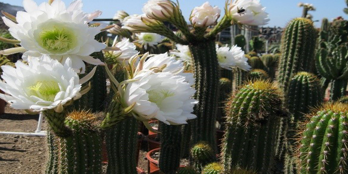 Trichocereus Spachianus Distribution and Habitat