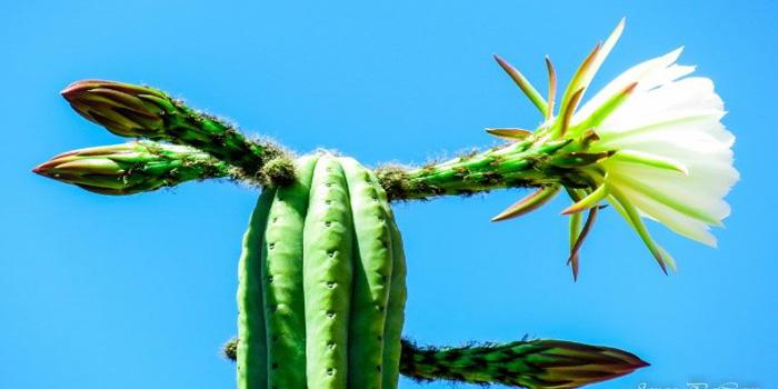 how to make san pedro cactus