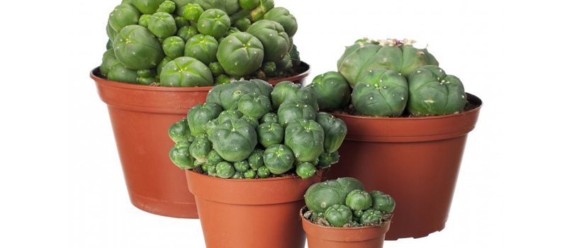 "How to Grow Peyote | Image powered by <a href=""//en.wikipedia.org/wiki/Peyote"">wikipedia</a>"