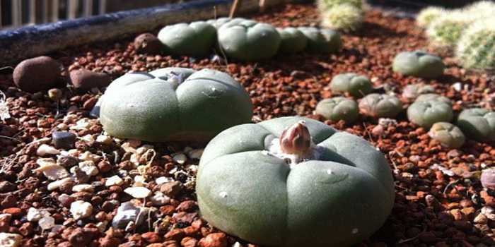 Taking Care of Peyote Cactus