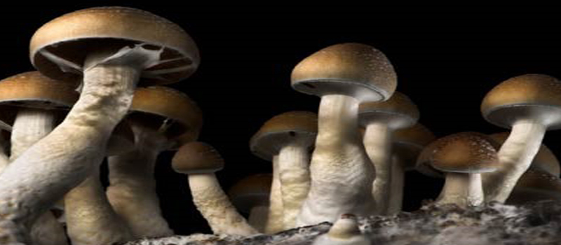 12 Easy Steps to Grow Magic Mushrooms - Trufflemagic - Fresh